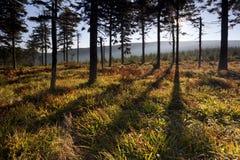 有长的影子的森林在日出 免版税图库摄影