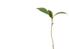有长的词根和鲜绿色的叶子的年轻咖啡植物 免版税库存图片