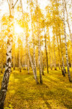 有长的阴影的桦树森林 免版税库存图片
