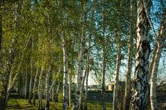 有长的阴影的桦树森林 免版税图库摄影