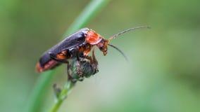 有长触角的甲虫攀登手指技巧陈列 免版税库存照片