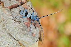 有长触角的Rosalia, Rosalia alpina,在自然绿色森林栖所,坐绿色落叶松属,捷克共和国,长角牛甲虫 免版税库存图片