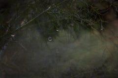 有闪耀的雨珠的茴香叶子,综合 免版税库存照片