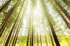 有阳光光芒的黑暗的森林 库存照片