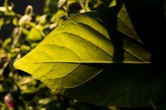 有阳光和一个坚硬阴影的绿色叶子 免版税库存照片