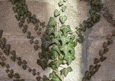 有阳光条纹的老常春藤覆盖的墙壁 免版税库存照片