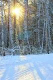 有阳光的冬天森林 免版税库存图片