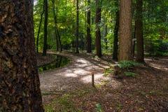 有阳光的大气杉树森林 库存照片