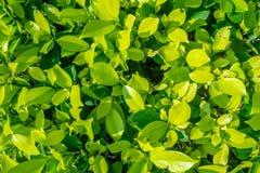 有阳光的新鲜的小绿色叶子背景的 库存照片