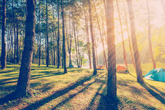 有阳光的杉树在日出的森林和阴影 图库摄影