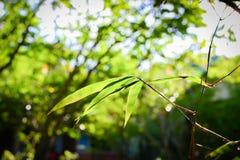 有阳光的竹叶子 免版税库存照片