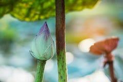有阳光的莲花芽 免版税库存照片