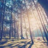 有阳光的落叶松属在日出的森林和阴影 免版税库存照片