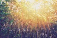 有阳光的落叶松属在日出的森林和阴影 免版税库存图片
