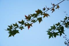 有阳光的Ginko叶子在秋天 库存照片