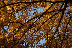 有阳光的Ginko叶子在秋天 免版税库存图片