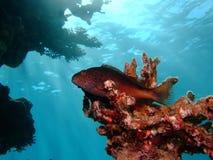 有雀斑的hawkfish 图库摄影