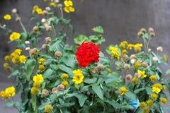 有雏菊的夏天或春天美丽的庭院开花 库存图片