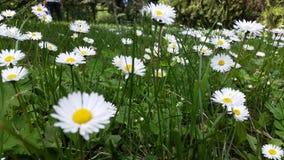 有雏菊的庭院 库存照片