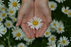 有雏菊的手 免版税库存图片