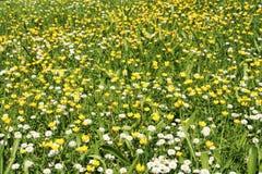 有雏菊的田园诗春天草甸在阳光下 库存图片