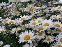 有雏菊的花草甸 免版税库存图片