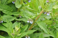 有雏菊的长毛的花萼的蓝色开花 免版税库存图片