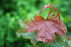 有雨下落的叶子 免版税库存照片