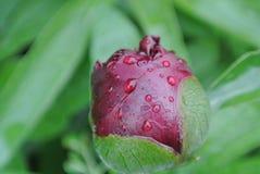 有雨下落的牡丹芽 免版税库存照片