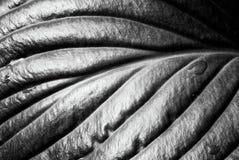 有雨下落的玉簪属植物叶子 免版税库存图片
