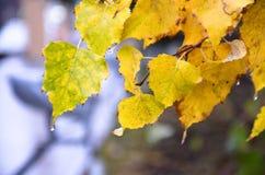有雨下落的黄色叶子 免版税库存图片