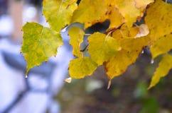有雨下落的黄色叶子 免版税库存照片