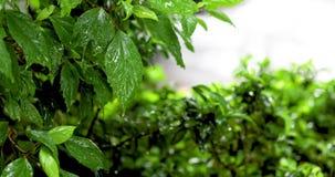 有雨下落的绿色叶子在热带森林 股票录像