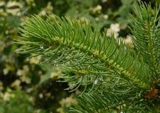 有雨珠的云杉的枝杈 库存照片