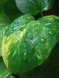 有雨珠的叶子 免版税库存照片