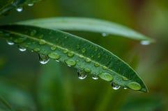 有雨珠的夹竹桃叶子 库存图片
