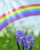 有雨珠的彩虹蓝色虹膜和太阳光芒和抽象bokeh背景 免版税库存照片