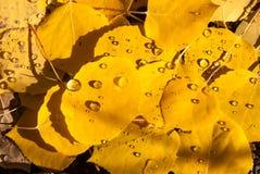 有雨珠的科罗拉多亚斯本叶子 免版税库存照片