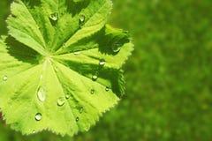有雨珠的绿色叶子在阳光下 免版税库存照片