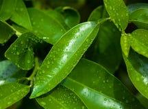 有雨珠的鲜绿色的有机茉莉花叶子 库存图片