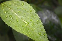 有雨珠的绿色叶子在庭院里 免版税库存图片