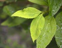 有雨珠的绿色叶子在庭院里 库存图片