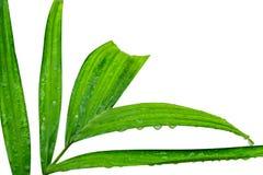 有雨水下落的新鲜的绿色叶子 免版税库存照片
