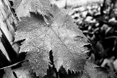 有雨水滴的一片葡萄叶子  免版税库存照片