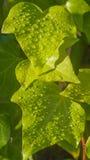 有雨水滴的常春藤叶子  免版税图库摄影