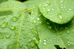 有雨水,自然背景下落的绿色叶子  免版税库存图片