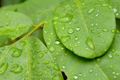 有雨水,自然背景下落的绿色叶子  图库摄影