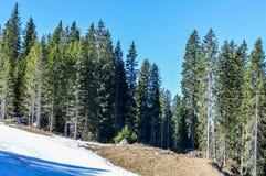 有雪的杉木森林在春天 图库摄影