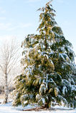 有雪的杉树盖子 免版税库存图片