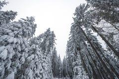 有雪的森林 库存图片